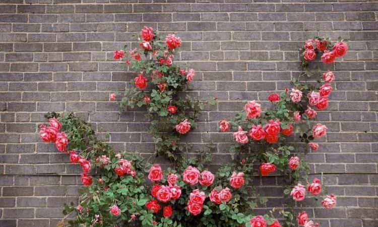 climbing rose house wall