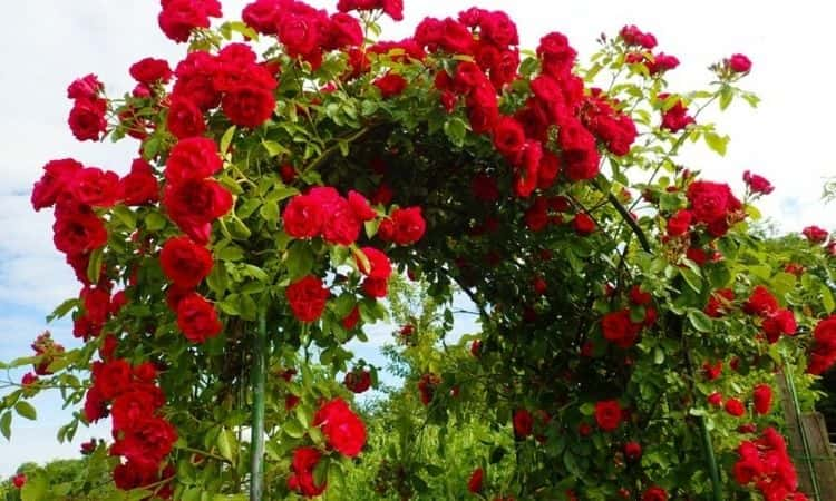 climbing roses-arch