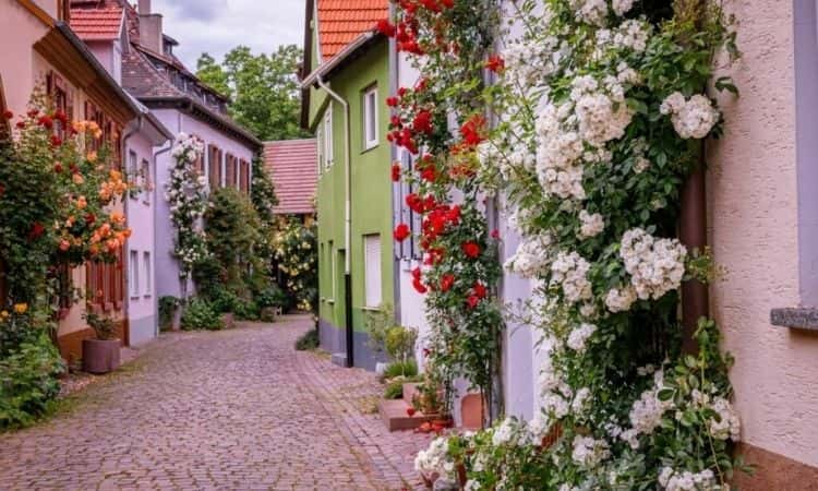 climbing roses houses