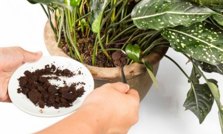 cofee ground a flower fertilize