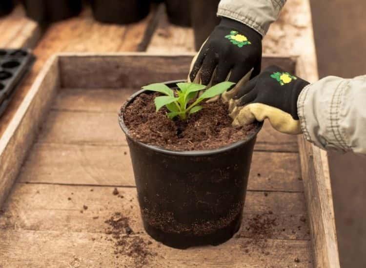 dahlia transplant in the pot