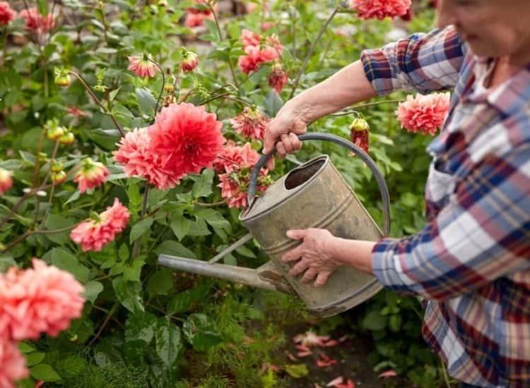 dahlia watering in garden