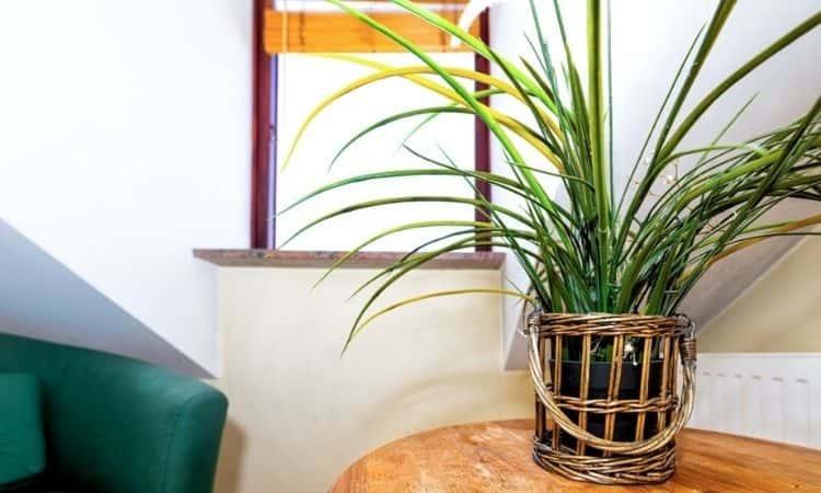 dracaena marginata in the flower pot on the table
