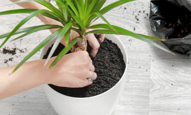 dragon tree planting