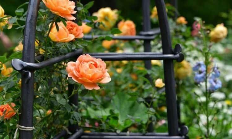 fix climbing roses