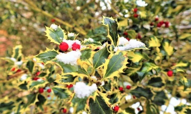 holly berries snow