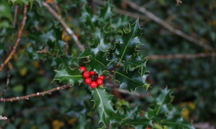 holly twigs berries