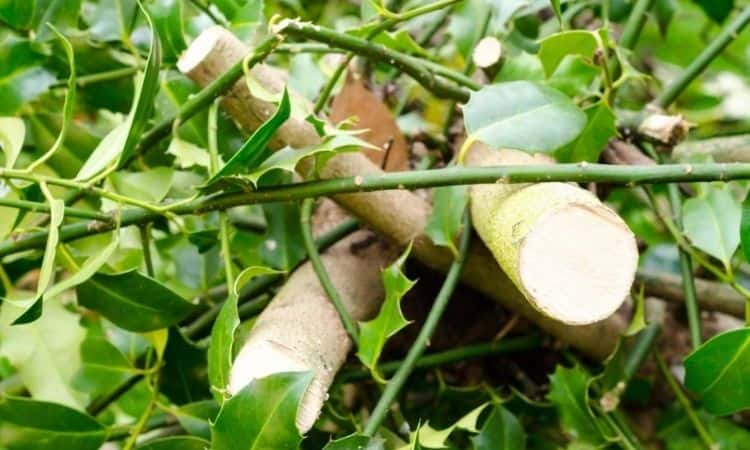 ilex cuttings