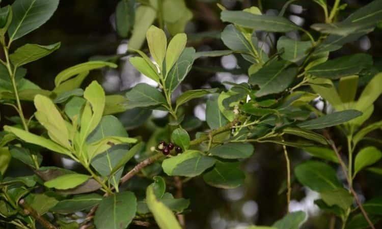ilex-paraguariensis