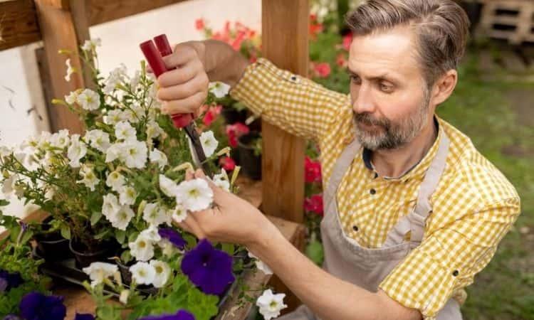 man gardener pruning petunias