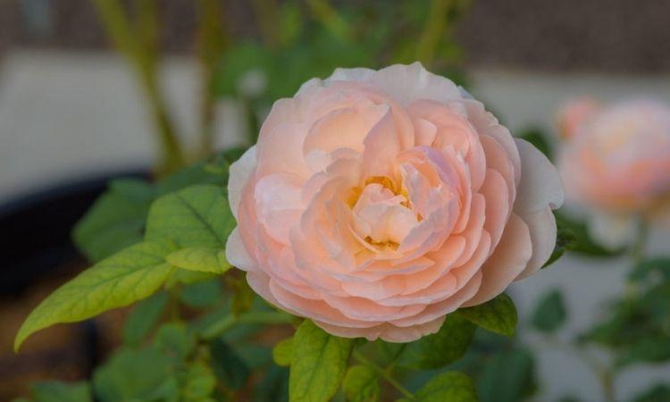 orange-eanglish-rose-Heritage