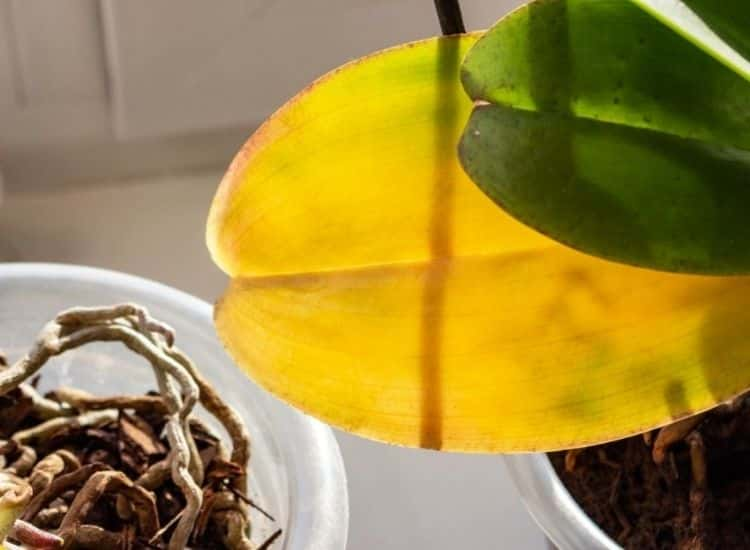 orchid-care-leaves-drop
