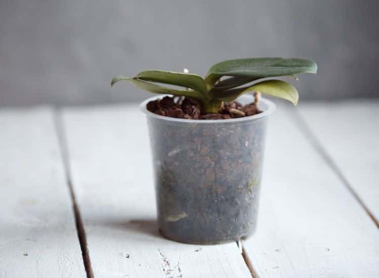 orchid-care-pouring-mistakes