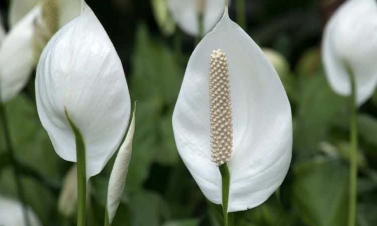 peace-lily-blue