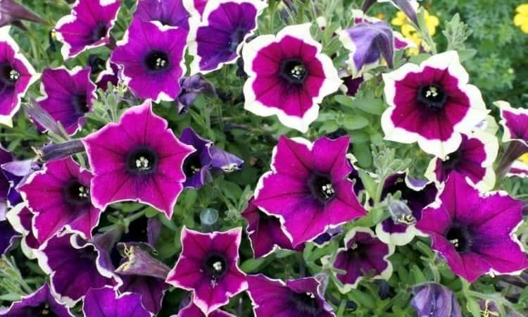 petunias flower bloom