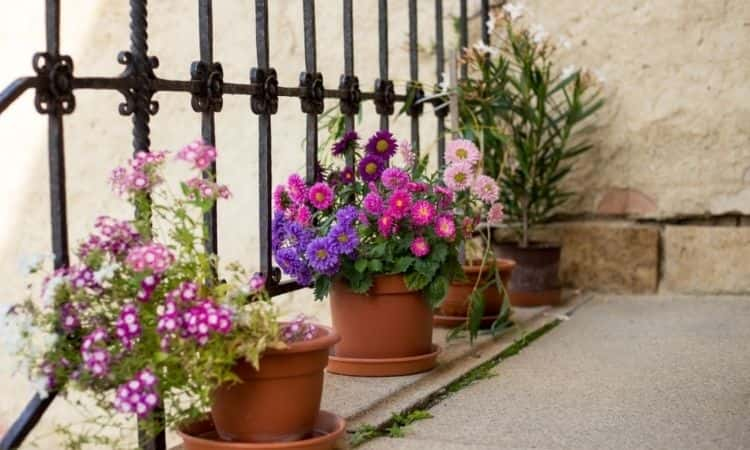petunias in the pot on the terrace