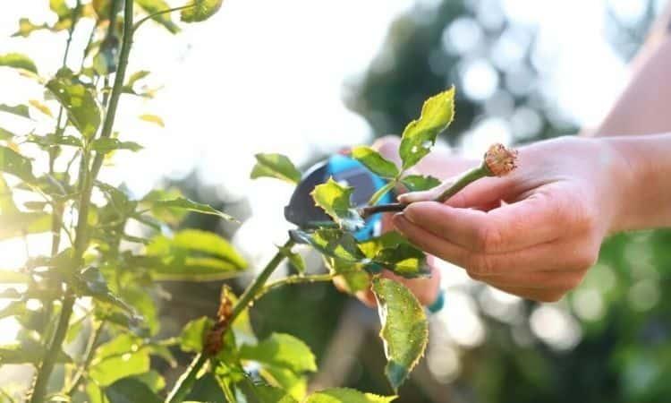 prune climbing roses