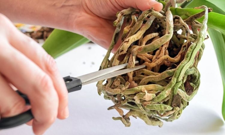 prune orchid roots