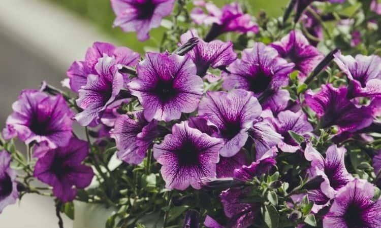 purple and white petunias flower