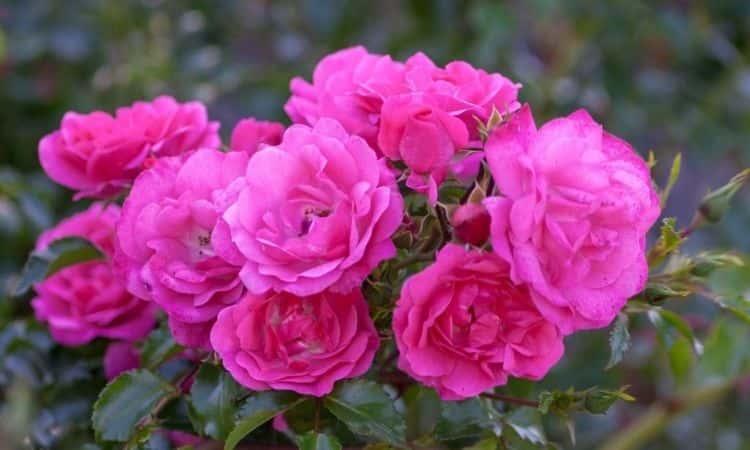 rose-Heath-dream