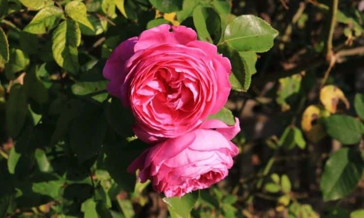 rose-Louise-Odier