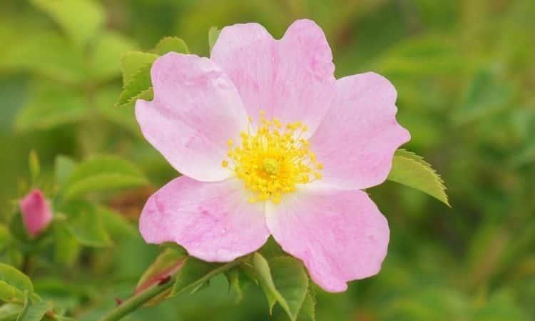 rose hip pink flower