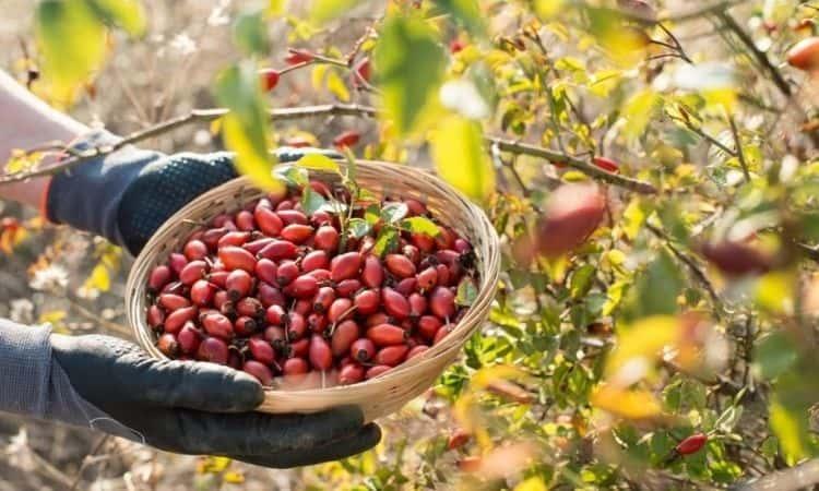 rosehip harvest