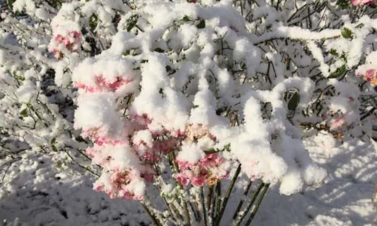 winter roses bush snow