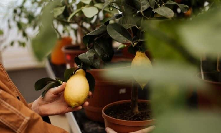 Fertilize Lemon Tree How And With Which To Fertilize Properly