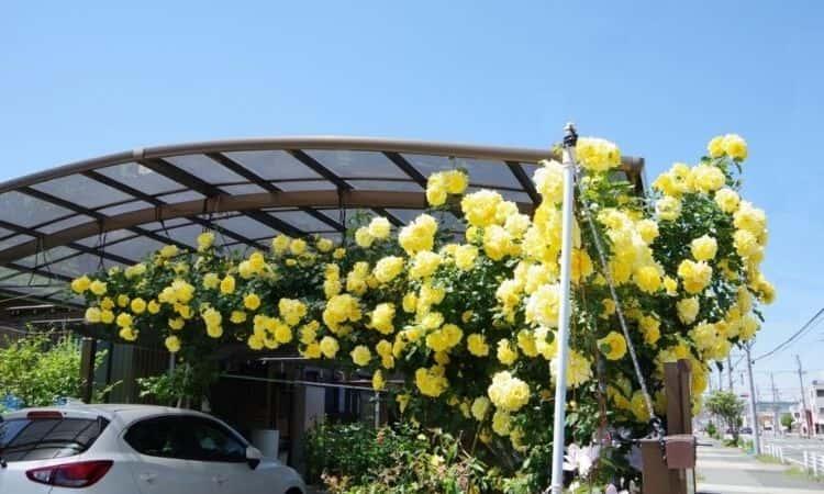 yellow climber rose bush