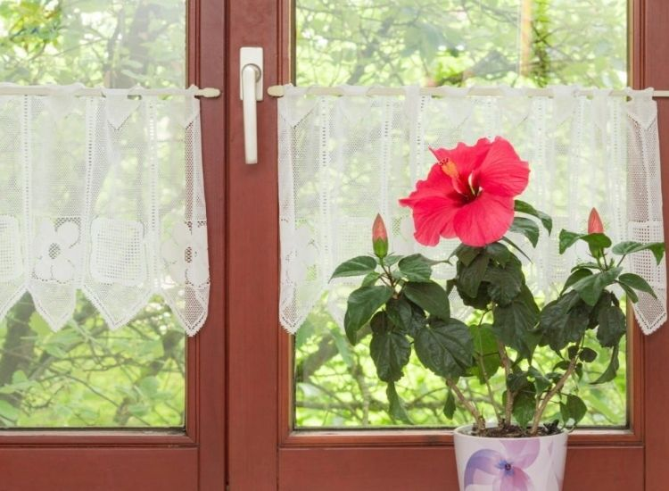 Hibiscus In Pots: Instructions For Planting And Suitable ...