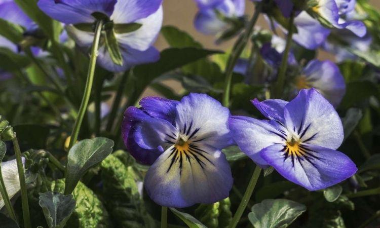 Horned Violet blue flowers