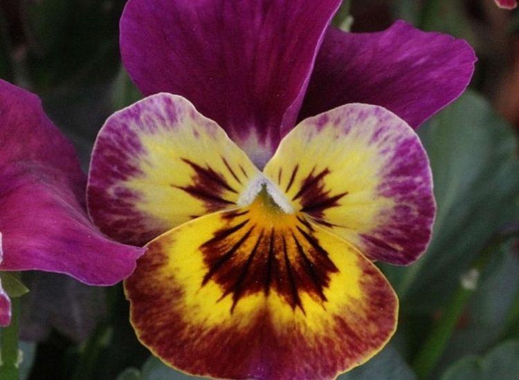 Horned Violet flowers