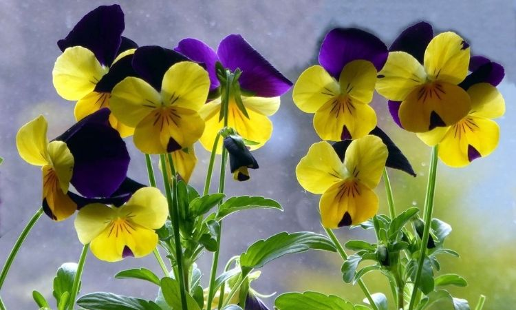 Horned Violet yellow and blue flowers