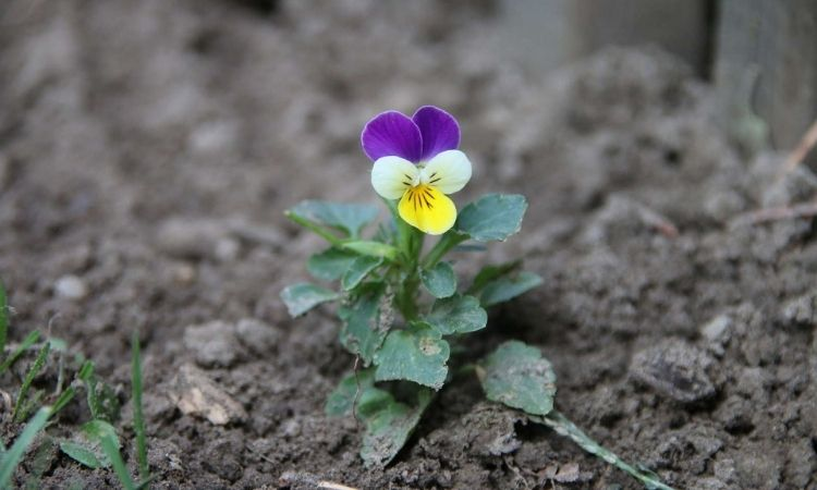 Horned violets-in-the-bed