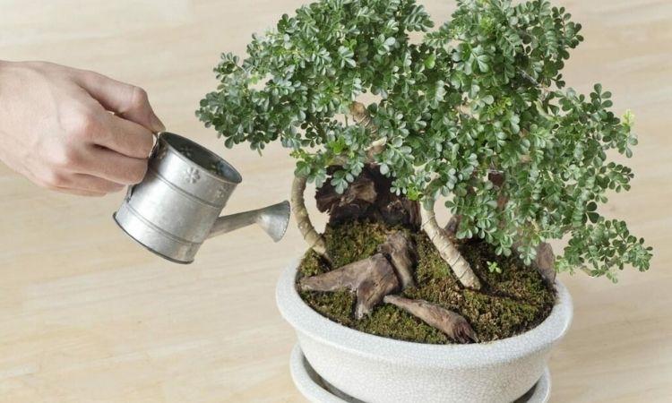bonsai-watering