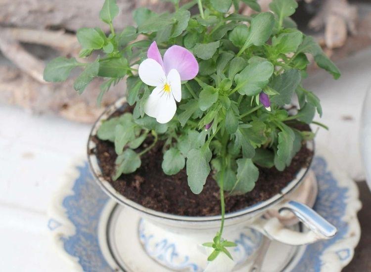 horned violent plant in the pot