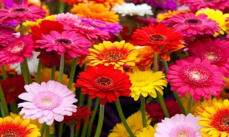 Gerbera-bloom-in-the-garden