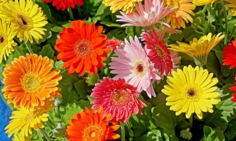 Gerbera-color-flowers
