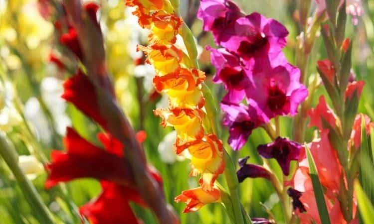Gladiolus-color-bloom-flower