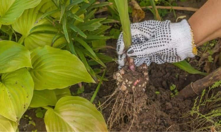 Gladiolus digging