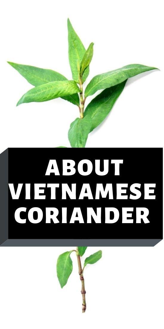 Profile about Vietnamese coriander