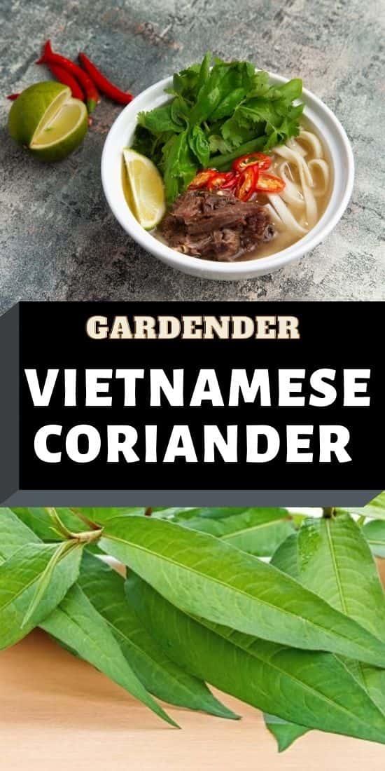 Vietnamese Coriander plant pin