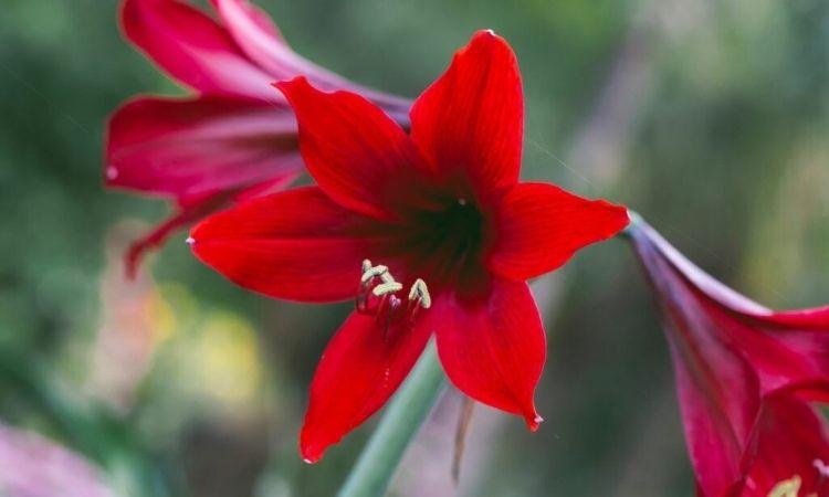 amaryllis-red-bloom