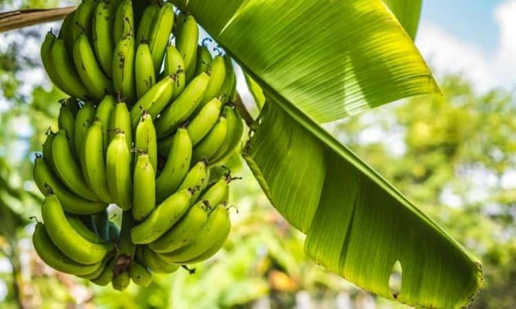 banana fruits on the tree