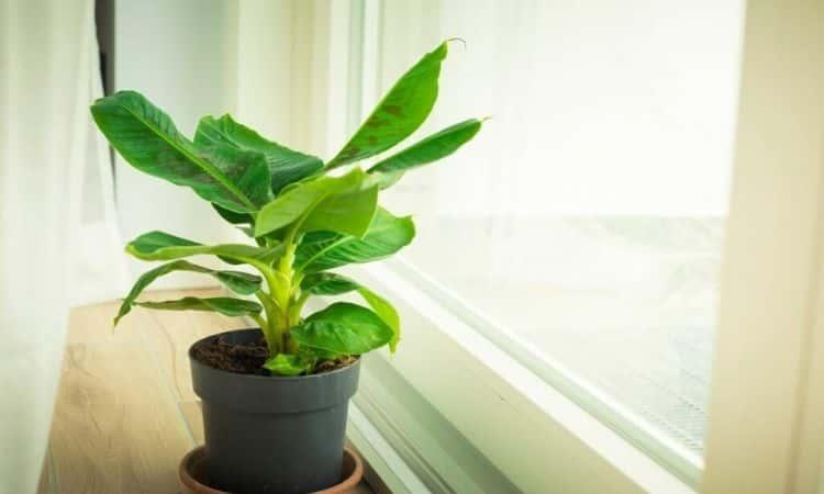 banana-houseplant-in-the-pot