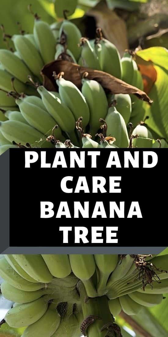 banana plant pin