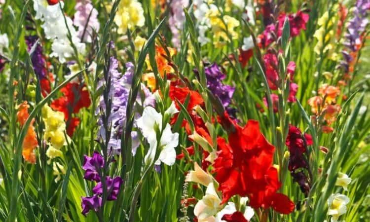 gladiolus-outdoor-bloom