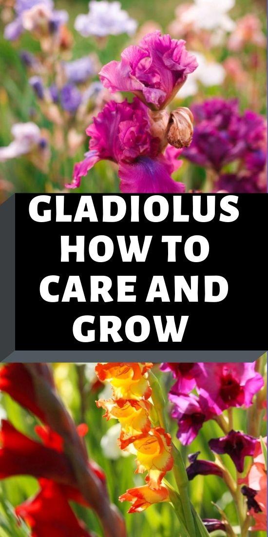gladiolus pin2
