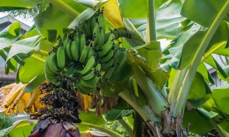 green banana fruits on the banana tree